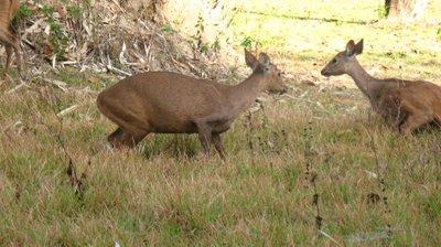 calauit deer