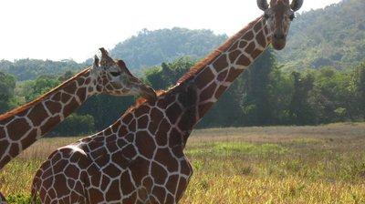 calauit giraffe