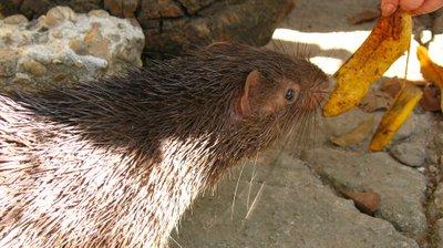 calauit porcupine