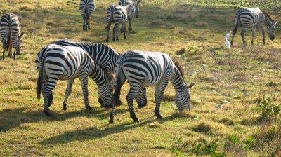 calauit zebra